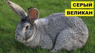 Разведение кроликов породы Серый Великан как бизнес идея   Кролиководство   Кролик Серый Великан