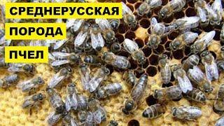 Разведение среднерусской породы пчел как бизнес идея   Среднерусская порода пчел