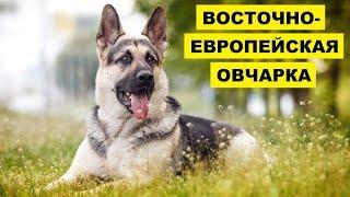 Восточно европейская овчарка плюсы и минусы   Порода собак восточно европейская овчарка