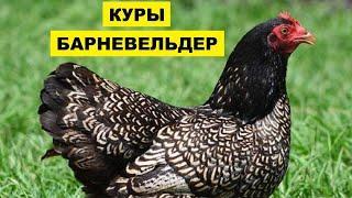 Разведение кур породы Барневельдер как бизнес идея   Птицеводство   Куры Барневельдер