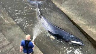 Спасение китенка. Пожарные и водолазы сняли детеныша кита с мели