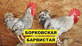 Разведение кур породы Борковская Барвистая как бизнес идея   Борковская Барвистая курица
