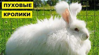 Разведение и содержание пуховых кроликов как бизнес идея   Кролиководство   Пуховые кролики