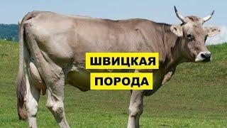 Швицкая порода крс плюсы, минусы и особенности   Швицкая корова   Молочное и мясное скотоводство