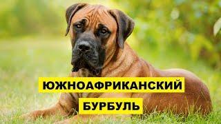 Южноафриканский бурбуль плюсы и минусы породы   Собаководство   Порода Южноафриканский бурбуль
