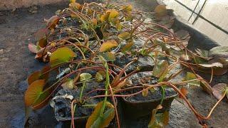 Купить водяные лилии в интернет магазине Waterlilia