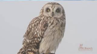 Owl Notes–Denver Holt Shares the Short eared Owl's Courtship Flight