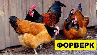 Разведение кур породы Форверк как бизнес идея   Птицеводство   Куры Форверк