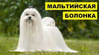 Мальтийская болонка плюсы и минусы породы   Собаководство   Собака Мальтийская болонка